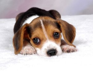 beagle-puppies-wallpaper