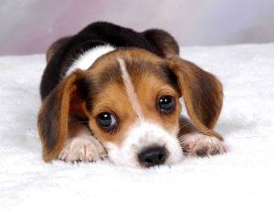 beagle-puppies-wallpaper