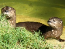 Otters(1)