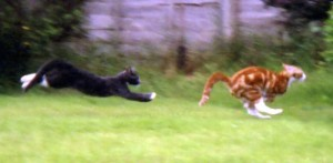 Cats_chasing_each_other