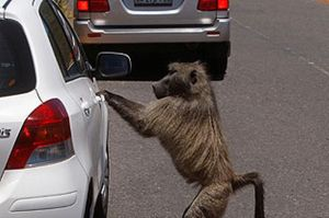 image-1-for-battling-baboons-gallery-992255704