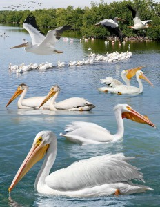 American_White_Pelican_From_The_Crossley_ID_Guide_Eastern_Birds