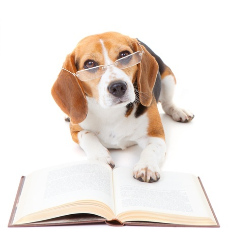 17692947 - beagle dog wearing glasses reading book